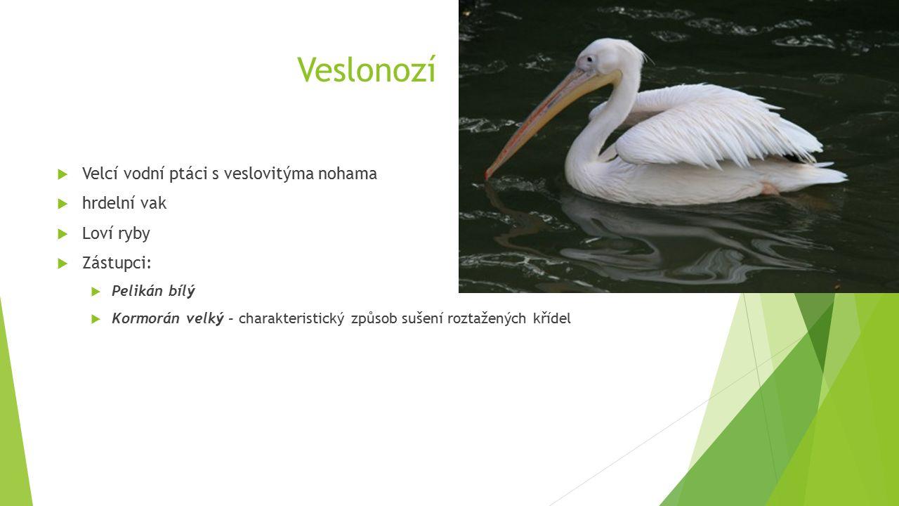 Veslonozí  Velcí vodní ptáci s veslovitýma nohama  hrdelní vak  Loví ryby  Zástupci:  Pelikán bílý  Kormorán velký - charakteristický způsob sušení roztažených křídel