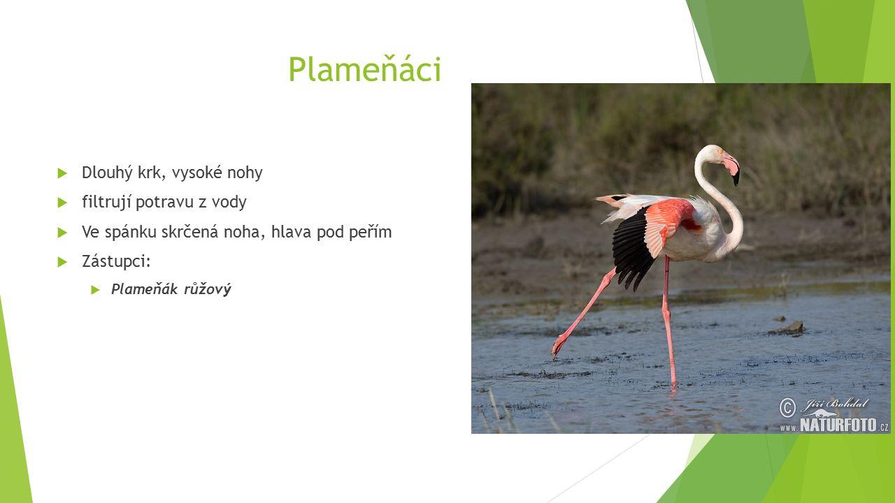 Plameňáci  Dlouhý krk, vysoké nohy  filtrují potravu z vody  Ve spánku skrčená noha, hlava pod peřím  Zástupci:  Plameňák růžový