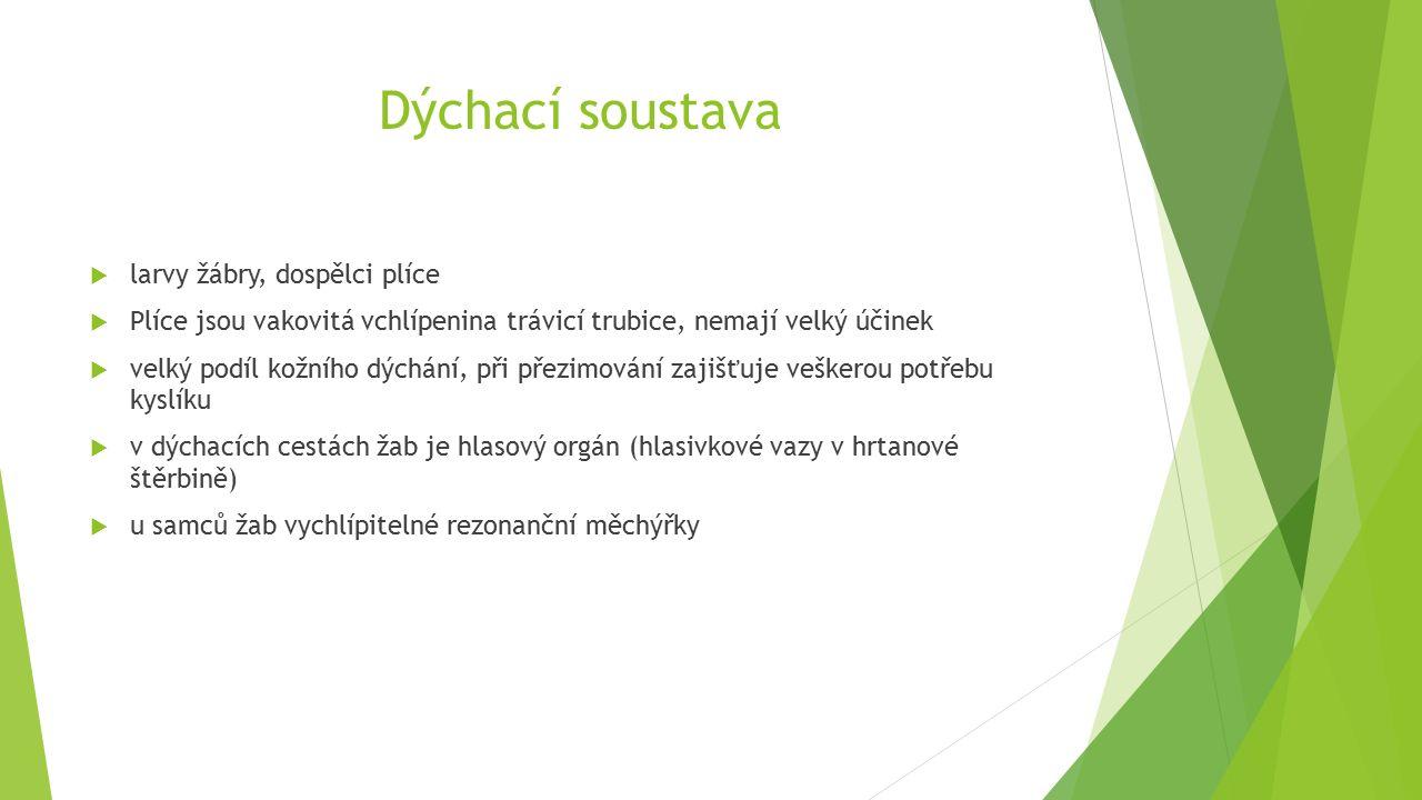 Dýchací soustava  larvy žábry, dospělci plíce  Plíce jsou vakovitá vchlípenina trávicí trubice, nemají velký účinek  velký podíl kožního dýchání, při přezimování zajišťuje veškerou potřebu kyslíku  v dýchacích cestách žab je hlasový orgán (hlasivkové vazy v hrtanové štěrbině)  u samců žab vychlípitelné rezonanční měchýřky
