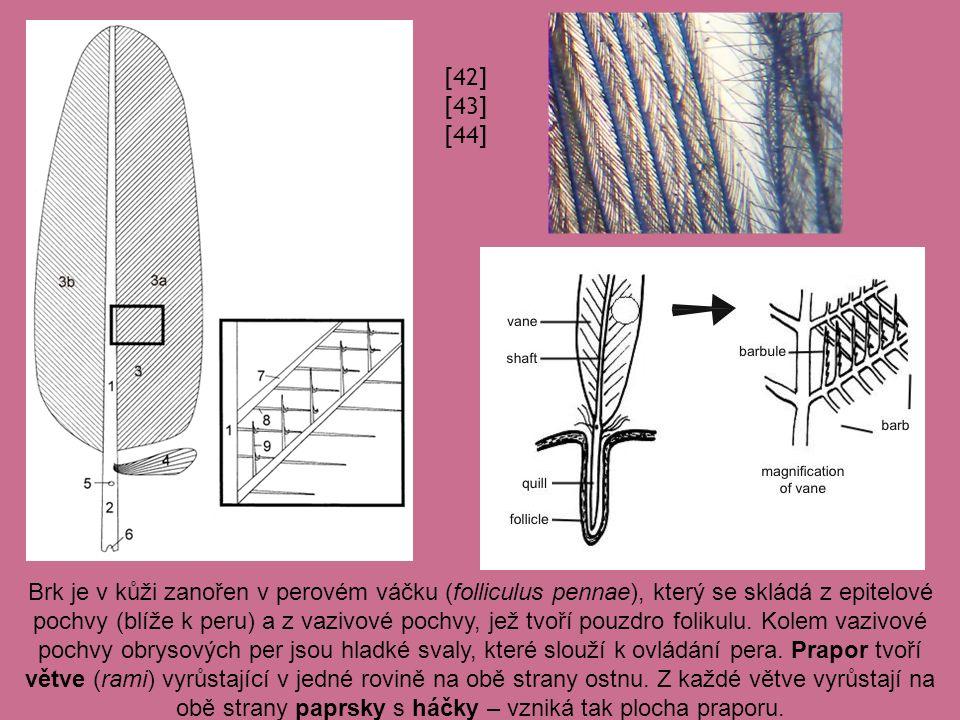 Brk je v kůži zanořen v perovém váčku (folliculus pennae), který se skládá z epitelové pochvy (blíže k peru) a z vazivové pochvy, jež tvoří pouzdro folikulu.