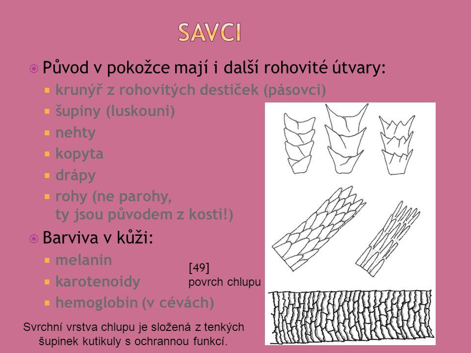  Původ v pokožce mají i další rohovité útvary:  krunýř z rohovitých destiček (pásovci)  šupiny (luskouni)  nehty  kopyta  drápy  rohy (ne parohy, ty jsou původem z kosti!)  Barviva v kůži:  melanin  karotenoidy  hemoglobin (v cévách) [49] povrch chlupu Svrchní vrstva chlupu je složená z tenkých šupinek kutikuly s ochrannou funkcí.