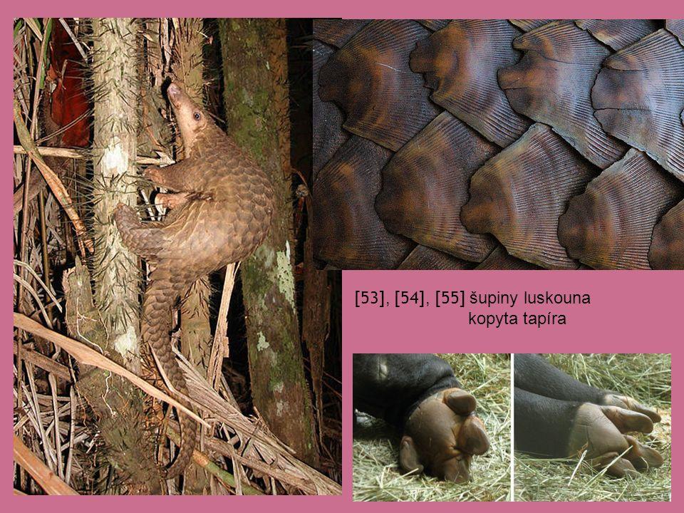 [53], [54], [55] šupiny luskouna kopyta tapíra