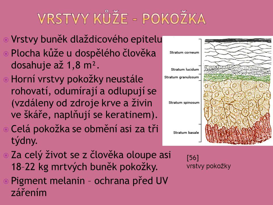  Vrstvy buněk dlaždicového epitelu  Plocha kůže u dospělého člověka dosahuje až 1,8 m².