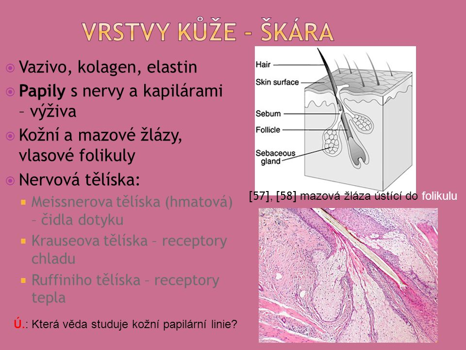  Vazivo, kolagen, elastin  Papily s nervy a kapilárami – výživa  Kožní a mazové žlázy, vlasové folikuly  Nervová tělíska:  Meissnerova tělíska (hmatová) – čidla dotyku  Krauseova tělíska – receptory chladu  Ruffiniho tělíska – receptory tepla [57], [58] mazová žláza ústící do folikulu Ú.: Která věda studuje kožní papilární linie