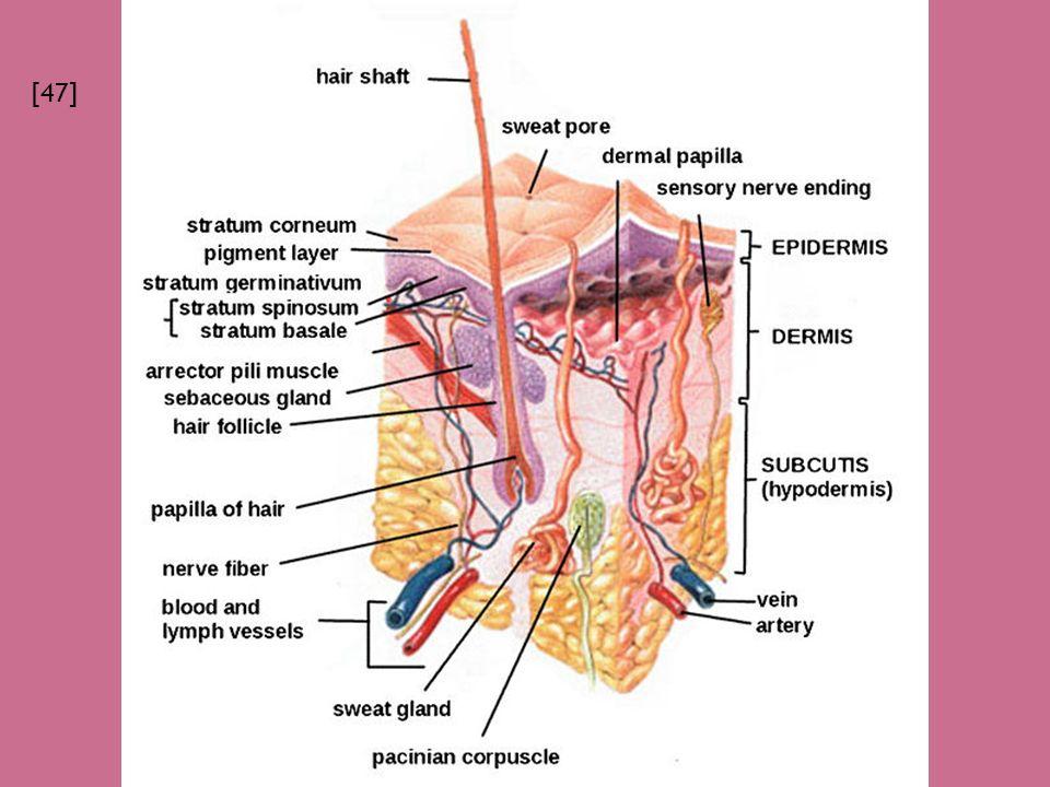  Pod škárou, obsahuje tukové buňky.