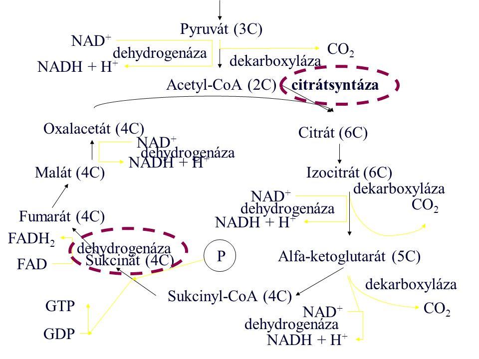 Pyruvát (3C) CO 2 NAD + NADH + H + Acetyl-CoA (2C) Oxalacetát (4C) Citrát (6C) Izocitrát (6C) Alfa-ketoglutarát (5C) Sukcinyl-CoA (4C) Sukcinát (4C) Fumarát (4C) Malát (4C) CO 2 NAD + NADH + H + NAD + CO 2 GTP GDP P FADH 2 FAD NAD + NADH + H + citrátsyntáza dekarboxyláza dehydrogenáza dekarboxyláza dehydrogenáza dekarboxyláza