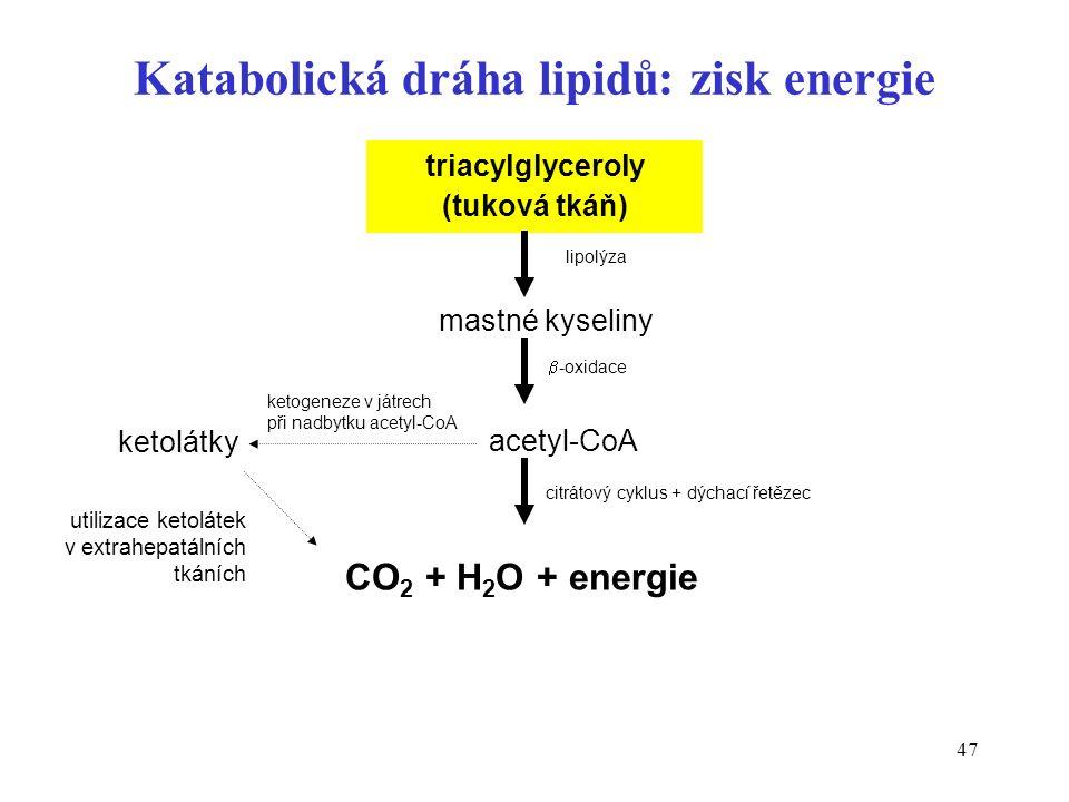 47 triacylglyceroly (tuková tkáň) mastné kyseliny acetyl-CoA ketolátky lipolýza  -oxidace ketogeneze v játrech při nadbytku acetyl-CoA CO 2 + H 2 O + energie citrátový cyklus + dýchací řetězec utilizace ketolátek v extrahepatálních tkáních Katabolická dráha lipidů: zisk energie