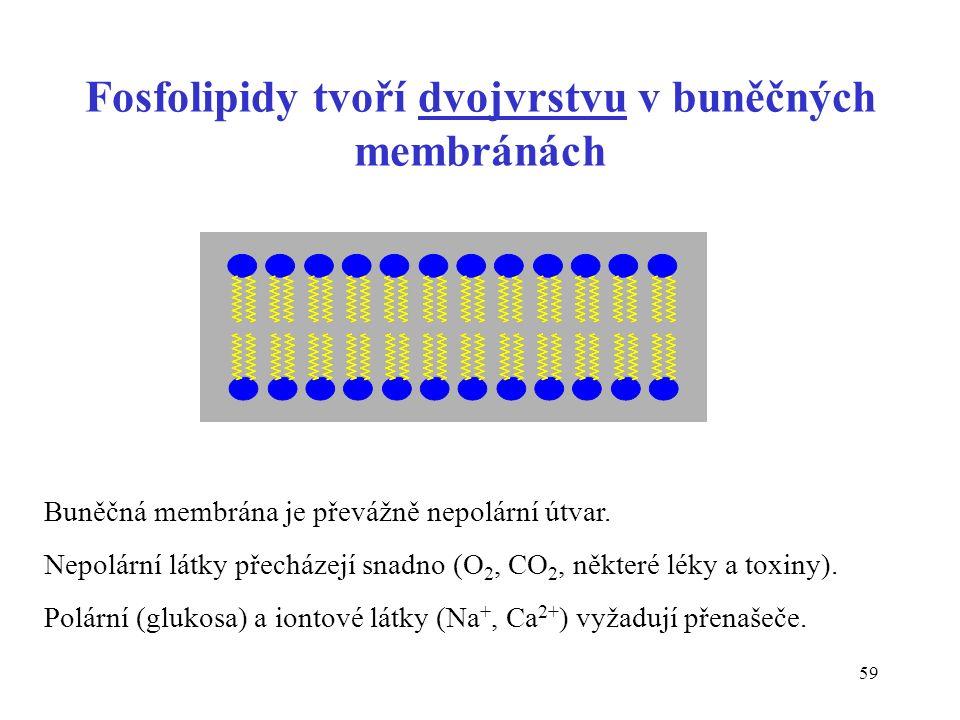 59 Fosfolipidy tvoří dvojvrstvu v buněčných membránách Buněčná membrána je převážně nepolární útvar.