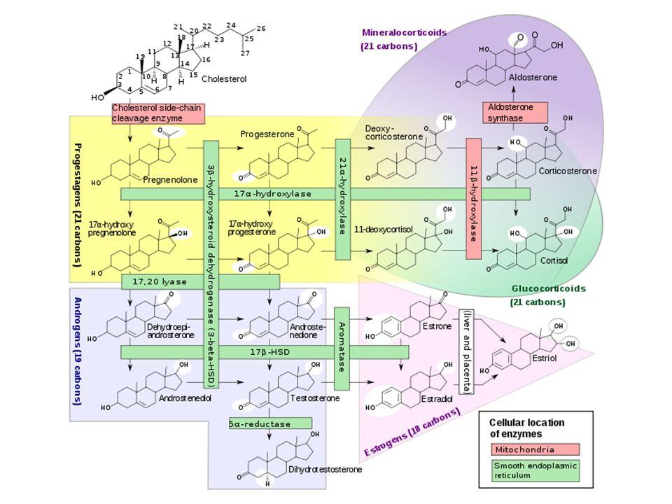 Estrogeny Estradiol – 17 beta-estradiol - nejúčinnější – Hlavní estrogen před menopauzou – produkce a sekrece v ováriích Estron – cca 1/3 aktivity estradiolu – Hlavní cirkulující estrogen po menopause tvořen zejména konverzí androstendionu v periferních tkáních Estriol – metabolit estradiolu, významně méně účinný – Významně přítomen v těhotenství hlavní estrogen produkovaný placentou Fytoestrogeny – nesteroidní látky rostlinného původu – např.
