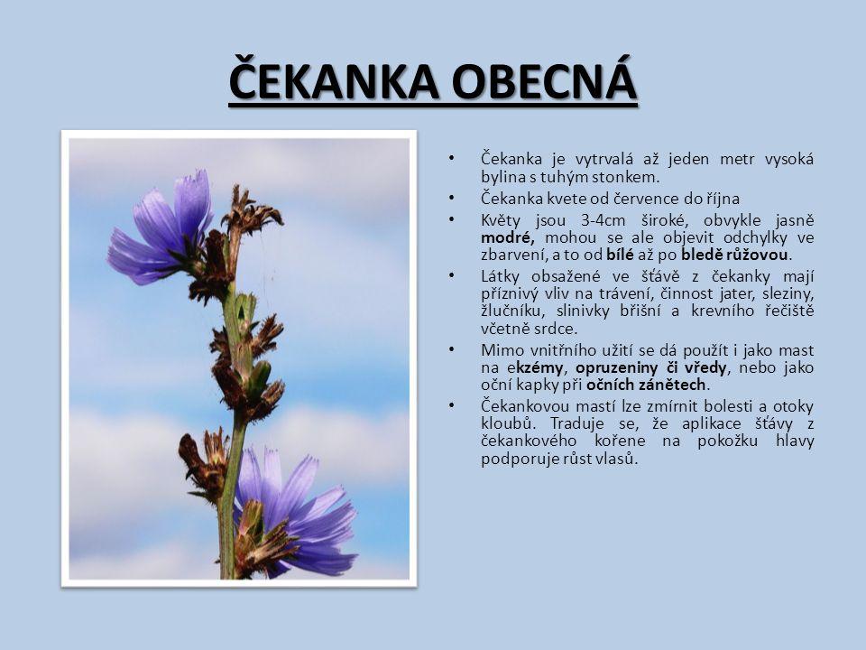 ČEKANKA OBECNÁ Čekanka je vytrvalá až jeden metr vysoká bylina s tuhým stonkem. Čekanka kvete od července do října Květy jsou 3-4cm široké, obvykle ja