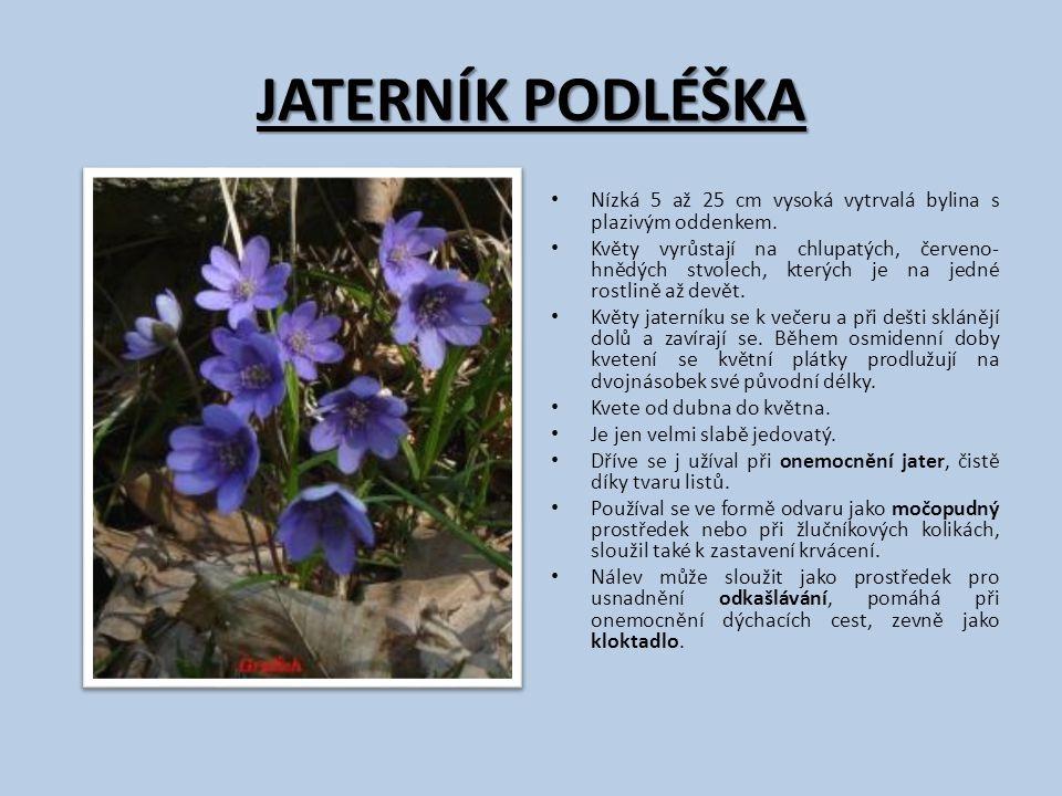 JATERNÍK PODLÉŠKA Nízká 5 až 25 cm vysoká vytrvalá bylina s plazivým oddenkem. Květy vyrůstají na chlupatých, červeno- hnědých stvolech, kterých je na