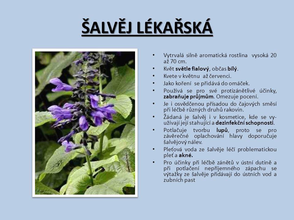 ŠALVĚJ LÉKAŘSKÁ Vytrvalá silně aromatická rostlina vysoká 20 až 70 cm.