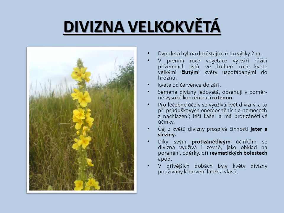 DIVIZNA VELKOKVĚTÁ Dvouletá bylina dorůstající až do výšky 2 m. V prvním roce vegetace vytváří růžici přízemních listů, ve druhém roce kvete velkými ž