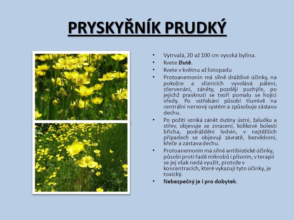 PRYSKYŘNÍK PRUDKÝ Vytrvalá, 20 až 100 cm vysoká bylina. Kvete žlutě. Kvete v květnu až listopadu Protoanemonin má silně dráždivé účinky, na pokožce a