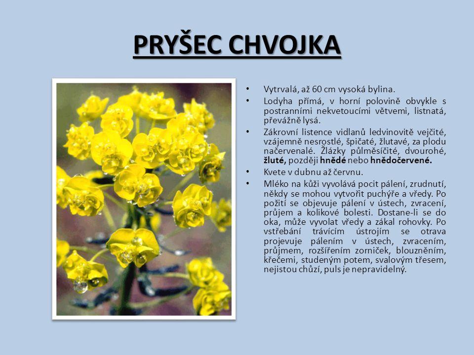 PRYŠEC CHVOJKA Vytrvalá, až 60 cm vysoká bylina. Lodyha přímá, v horní polovině obvykle s postranními nekvetoucími větvemi, listnatá, převážně lysá. Z