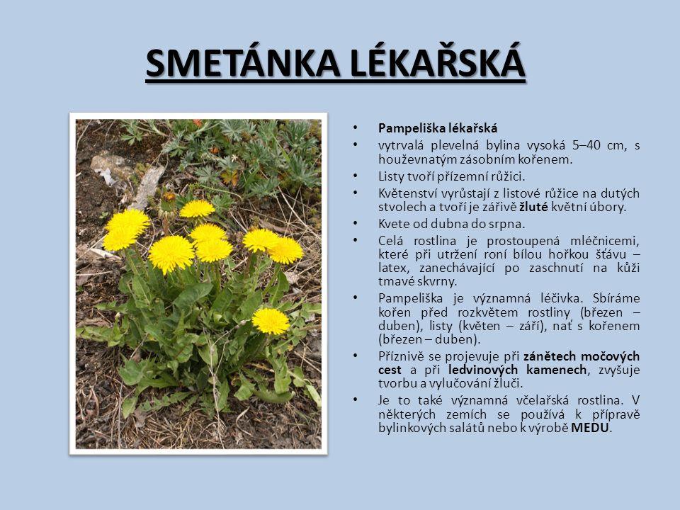 SMETÁNKA LÉKAŘSKÁ Pampeliška lékařská vytrvalá plevelná bylina vysoká 5–40 cm, s houževnatým zásobním kořenem. Listy tvoří přízemní růžici. Květenství