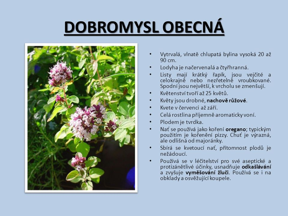 DOBROMYSL OBECNÁ Vytrvalá, vlnatě chlupatá bylina vysoká 20 až 90 cm. Lodyha je načervenalá a čtyřhranná. Listy mají krátký řapík, jsou vejčité a celo