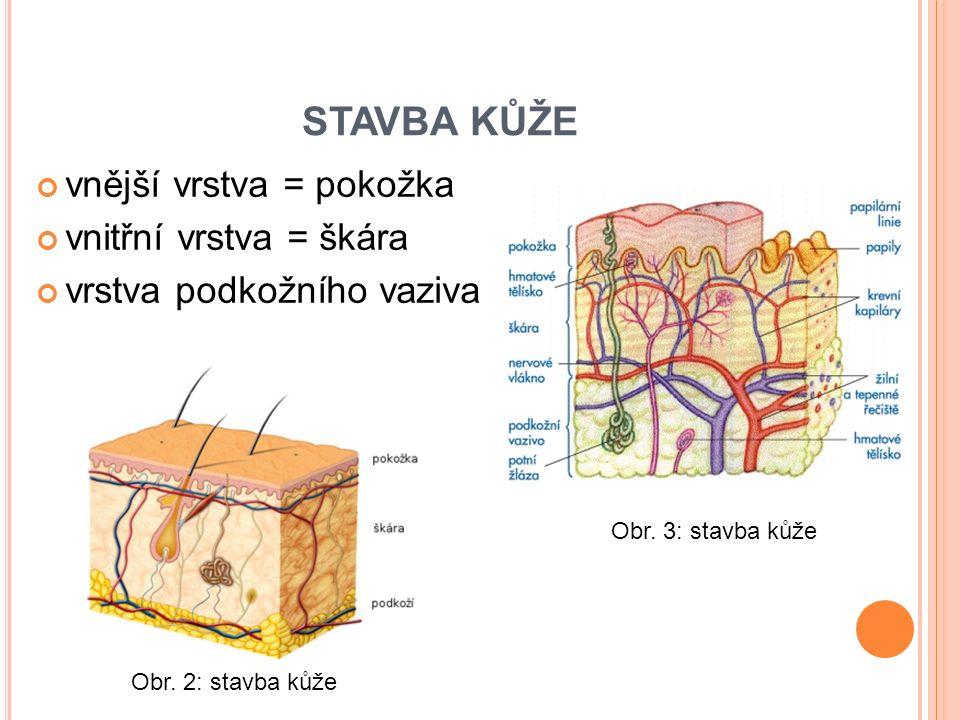 STAVBA KŮŽE vnější vrstva = pokožka vnitřní vrstva = škára vrstva podkožního vaziva Obr.