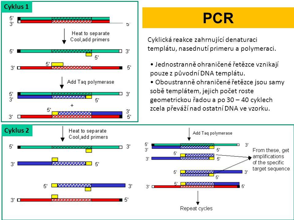 Cyklus 1 Cyklus 2 Jednostranně ohraničené řetězce vznikají pouze z původní DNA templátu.