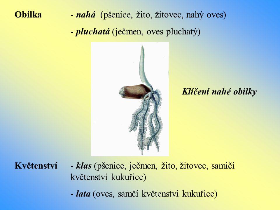 Obilka - nahá (pšenice, žito, žitovec, nahý oves) - pluchatá (ječmen, oves pluchatý) Květenství- klas (pšenice, ječmen, žito, žitovec, samičí květenst