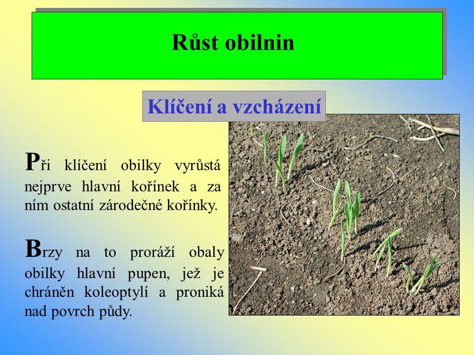 Růst obilnin P ři klíčení obilky vyrůstá nejprve hlavní kořínek a za ním ostatní zárodečné kořínky. B rzy na to proráží obaly obilky hlavní pupen, jež