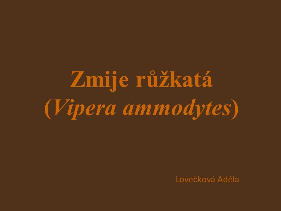 Zmije růžkatá (Vipera ammodytes) Lovečková Adéla