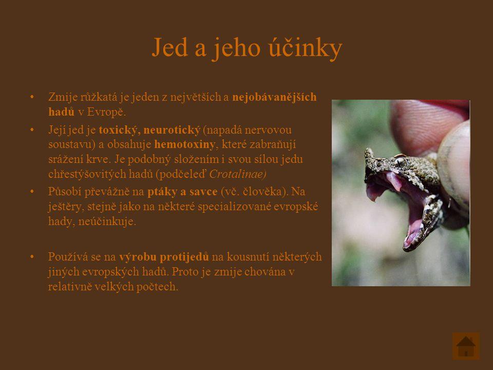 Jed a jeho účinky Zmije růžkatá je jeden z největších a nejobávanějších hadů v Evropě.