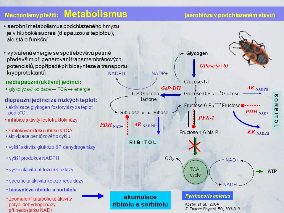 Mechanismy přežití: Metabolismus (aerobióza v podchlazeném stavu) aerobní metabolismus podchlazeného hmyzu je v hluboké supresi (diapauzou a teplotou), ale stále funkční vytvářená energie se spotřebovává patrně především při generování transmembránových potenciálů, popřípadě při biosyntéze a transportu kryoprotektantů Glycogen Glucose-1-P Glucose-6-P Fructose-6-P Fructose-1,6-bis-P 6-P-Glucono- lactone Glucose Fructose RiboseRibulose TCA cycle GPase (a+b) G 6 P-DH AR NADPH PDH NAD+ ATP PFK-1 NADPHNADP+ NADH NAD+ CO 2 AR NADPH PDH NAD+ nediapauzní (aktivní) jedinci: glykolýza/  -oxidace  TCA  energie diapauzní jedinci za nízkých teplot: aktivizace glykogen fosforylázy za teplot pod 5°C KR NADPH vyšší aktivita glukózo-6P-dehydrogenázy vyšší produkce NADPH vyšší aktivita aldózo reduktázy specifická aktivita ketózo reduktázy inhibice aktivity fosfofruktokinázy zablokování toku uhlíku k TCA aktivizace pentózového cyklu biosyntéza ribitolu a sorbitolu R I B I T O L S O R B I T O L zpomalení katabolické aktivity polyol dehydrogenázy při nedostatku NAD+ Kostal et al., 2004 J.