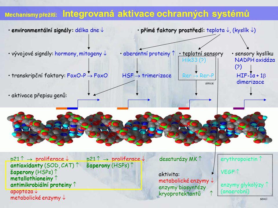 Mechanismy přežití: Integrovaná aktivace ochranných systémů vývojové signály: hormony, mitogeny  environmentální signály: délka dne  přímé faktory prostředí: teplota , (kyslík  ) transkripční faktory: FoxO-P  FoxO aberantní proteiny  teplotní sensory Hik33 ( ) sensory kyslíku NADPH oxidáza ( ) HSF  trimerizace Rer  Rer-P HIF-1α + 1  dimerizace aktivace přepisu genů: desaturázy MK  erythropoietin  VEGF  enzymy glykolýzy  (anaerobní) p21   proliferace  antioxidanty (SOD, CAT)  šaperony (HSPs)  metallothioneiny  antimikrobiální proteiny  apoptóza  metabolické enzymy  p21   proliferace  šaperony (HSPs)  aktivita: metabolické enzymy  enzymy biosyntézy kryoprotektantů  sinice savci