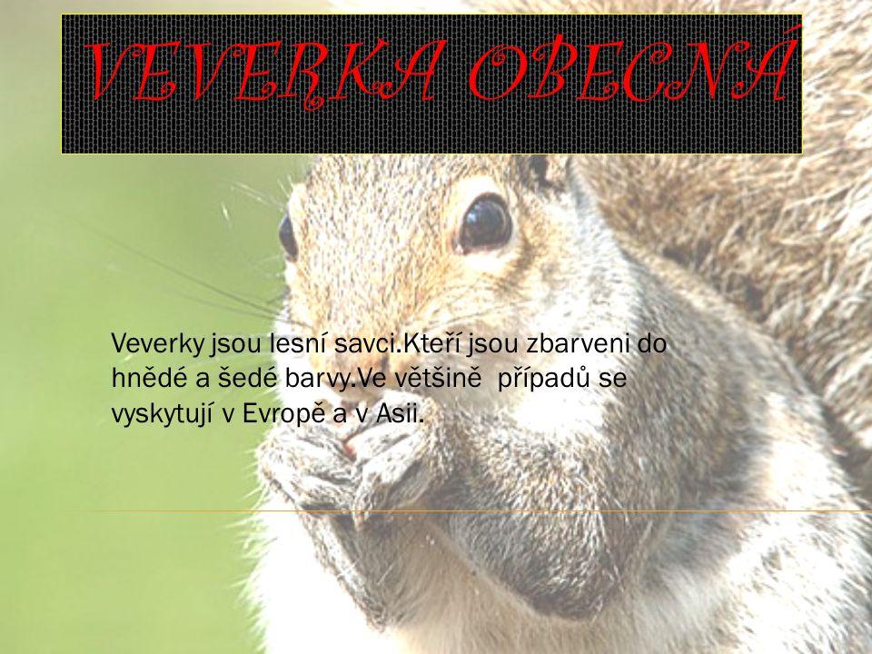 VEVERKA OBECNÁ Veverky jsou lesní savci.Kteří jsou zbarveni do hnědé a šedé barvy.Ve většině případů se vyskytují v Evropě a v Asii.