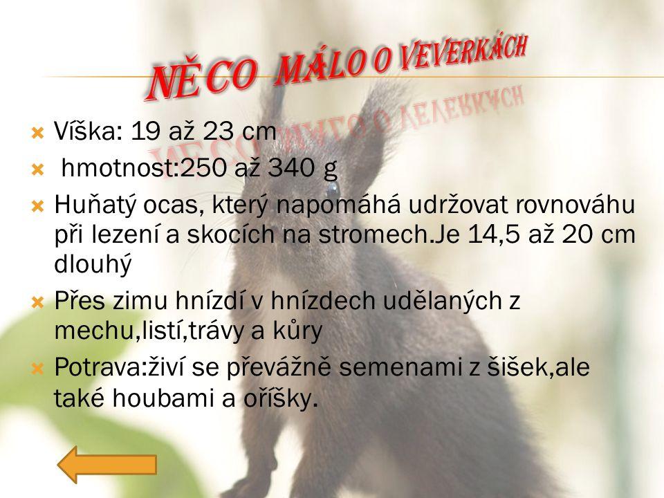  Víška: 19 až 23 cm  hmotnost:250 až 340 g  Huňatý ocas, který napomáhá udržovat rovnováhu při lezení a skocích na stromech.Je 14,5 až 20 cm dlouhý