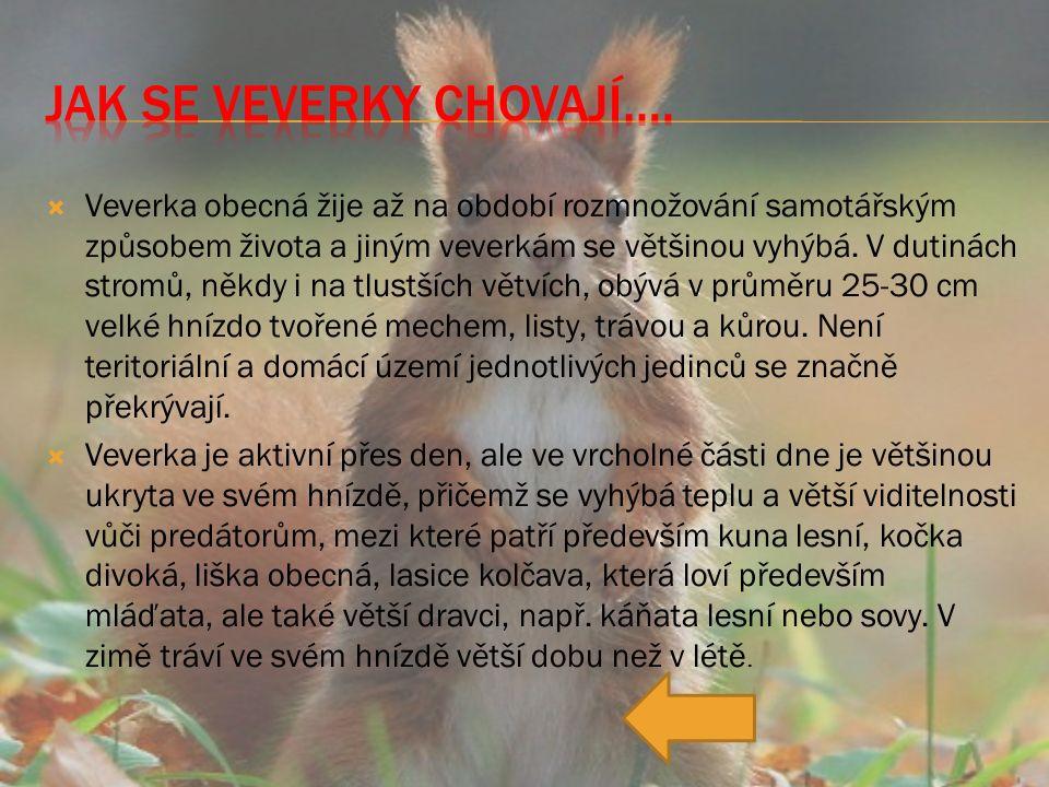  Veverka obecná žije až na období rozmnožování samotářským způsobem života a jiným veverkám se většinou vyhýbá.