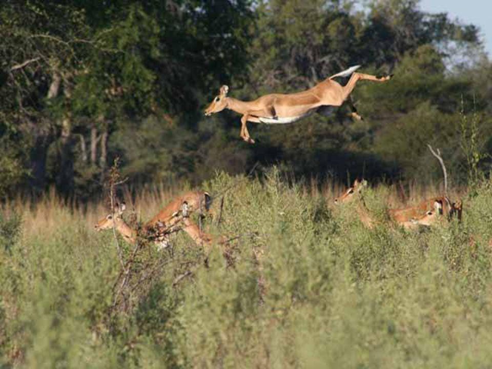 Volavky v letu u řeky Okavango, Botswana.