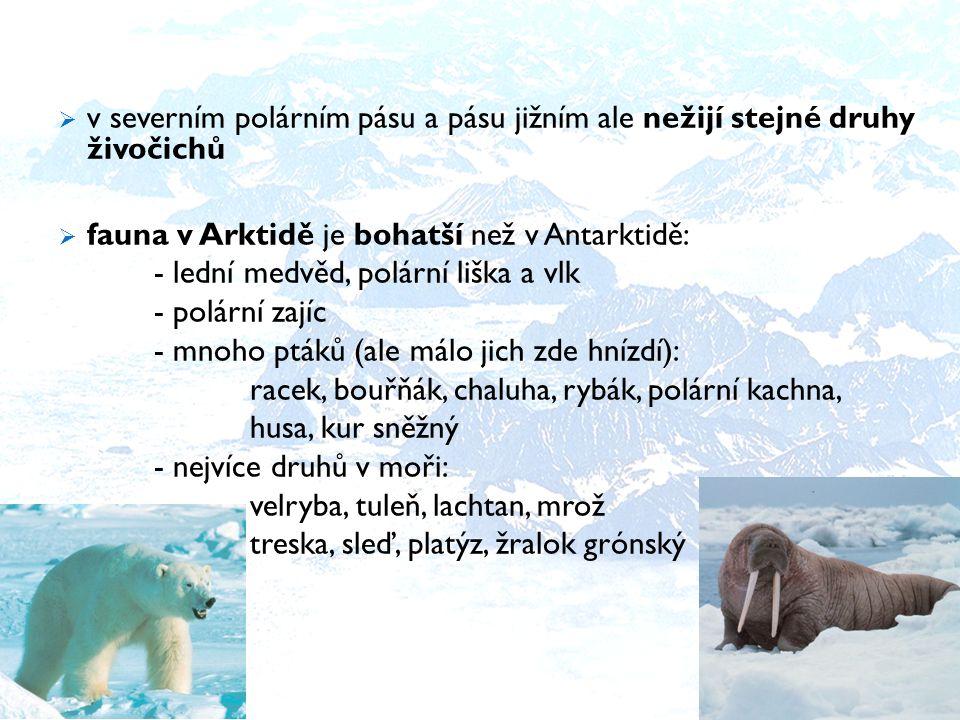  v severním polárním pásu a pásu jižním ale nežijí stejné druhy živočichů  fauna v Arktidě je bohatší než v Antarktidě: - lední medvěd, polární liška a vlk - polární zajíc - mnoho ptáků (ale málo jich zde hnízdí): racek, bouřňák, chaluha, rybák, polární kachna, husa, kur sněžný - nejvíce druhů v moři: velryba, tuleň, lachtan, mrož treska, sleď, platýz, žralok grónský