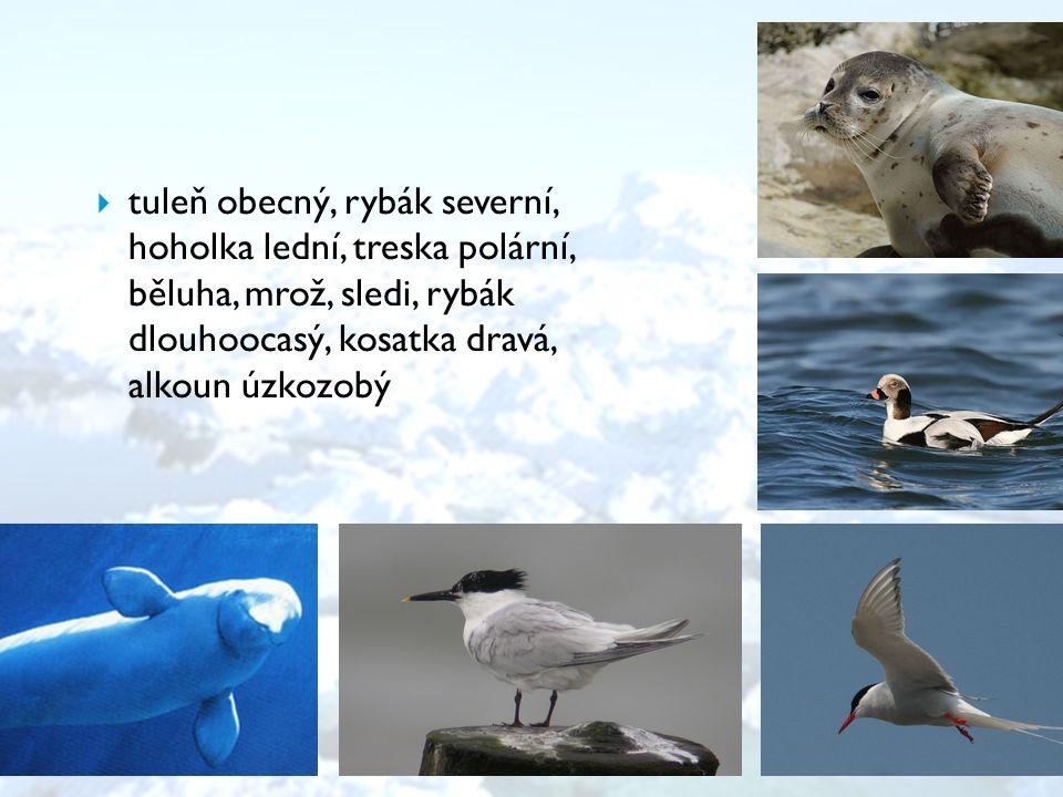  tuleň obecný, rybák severní, hoholka lední, treska polární, běluha, mrož, sledi, rybák dlouhoocasý, kosatka dravá, alkoun úzkozobý
