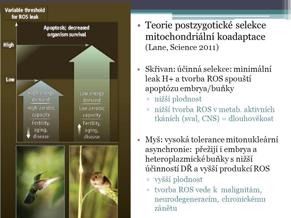 Teorie postzygotické selekce mitochondriální koadaptace (Lane, Science 2011) Skřivan: účinná selekce: minimální leak H+ a tvorba ROS spouští apoptózu