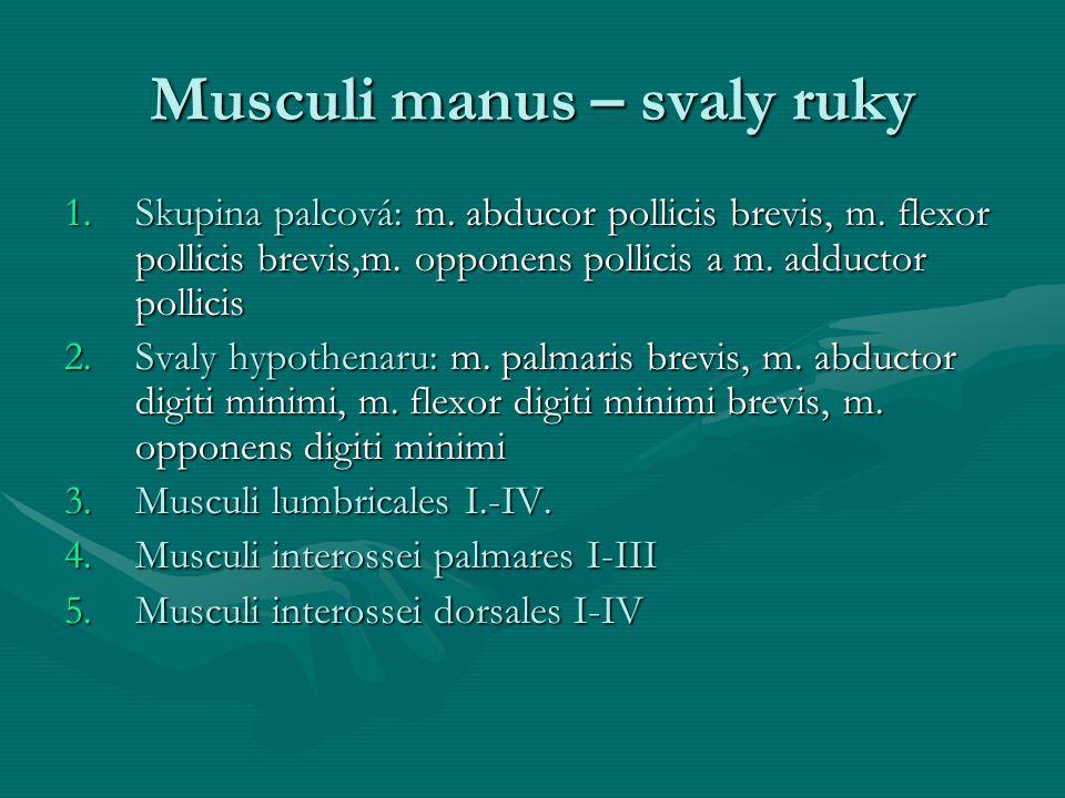 Musculi manus – svaly ruky 1.Skupina palcová: m. abducor pollicis brevis, m. flexor pollicis brevis,m. opponens pollicis a m. adductor pollicis 2.Sval