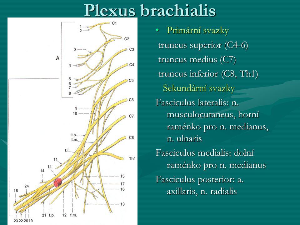 Plexus brachialis Primární svazky truncus superior (C4-6) truncus medius (C7) truncus inferior (C8, Th1) Sekundární svazky Fasciculus lateralis: n. mu
