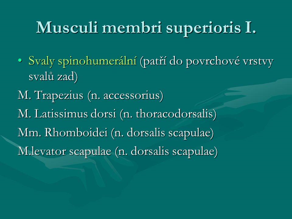 Musculi membri superioris I. Svaly spinohumerální (patří do povrchové vrstvy svalů zad)Svaly spinohumerální (patří do povrchové vrstvy svalů zad) M. T