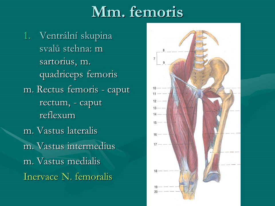 Mm. femoris 1.Ventrální skupina svalů stehna: m sartorius, m. quadriceps femoris m. Rectus femoris - caput rectum, - caput reflexum m. Vastus laterali
