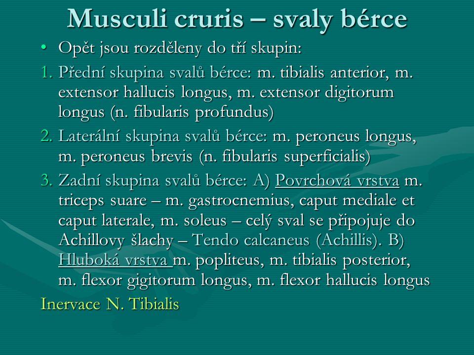 Musculi cruris – svaly bérce Opět jsou rozděleny do tří skupin:Opět jsou rozděleny do tří skupin: 1.Přední skupina svalů bérce: m. tibialis anterior,