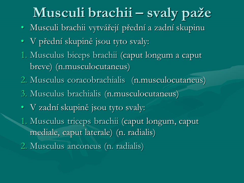 Musculi brachii – svaly paže Musculi brachii vytvářejí přední a zadní skupinuMusculi brachii vytvářejí přední a zadní skupinu V přední skupině jsou ty