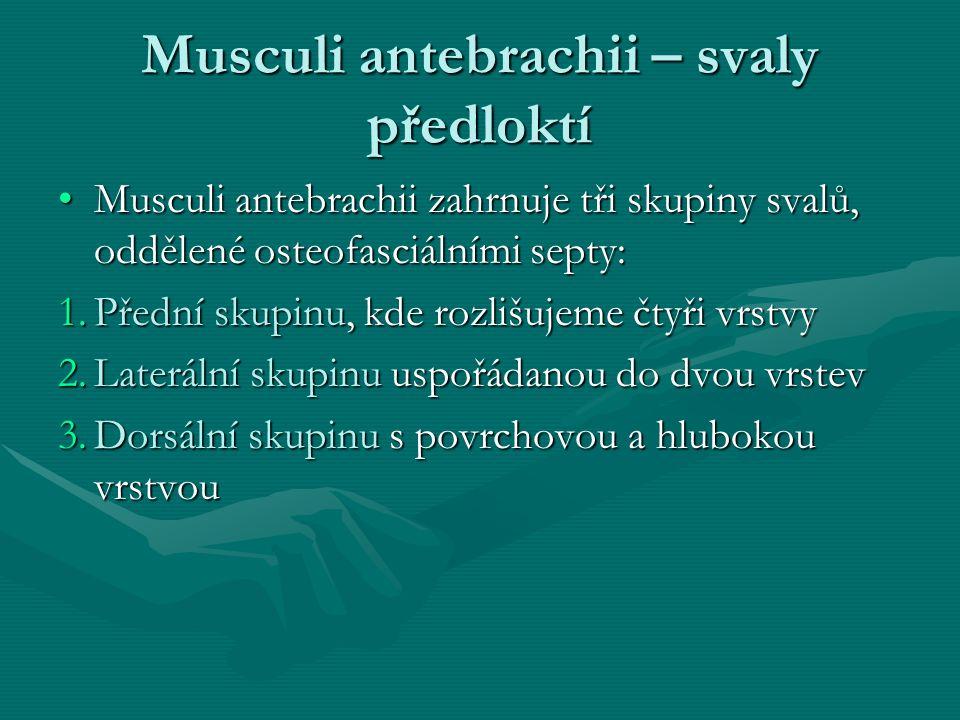 Musculi antebrachii – svaly předloktí Musculi antebrachii zahrnuje tři skupiny svalů, oddělené osteofasciálními septy:Musculi antebrachii zahrnuje tři