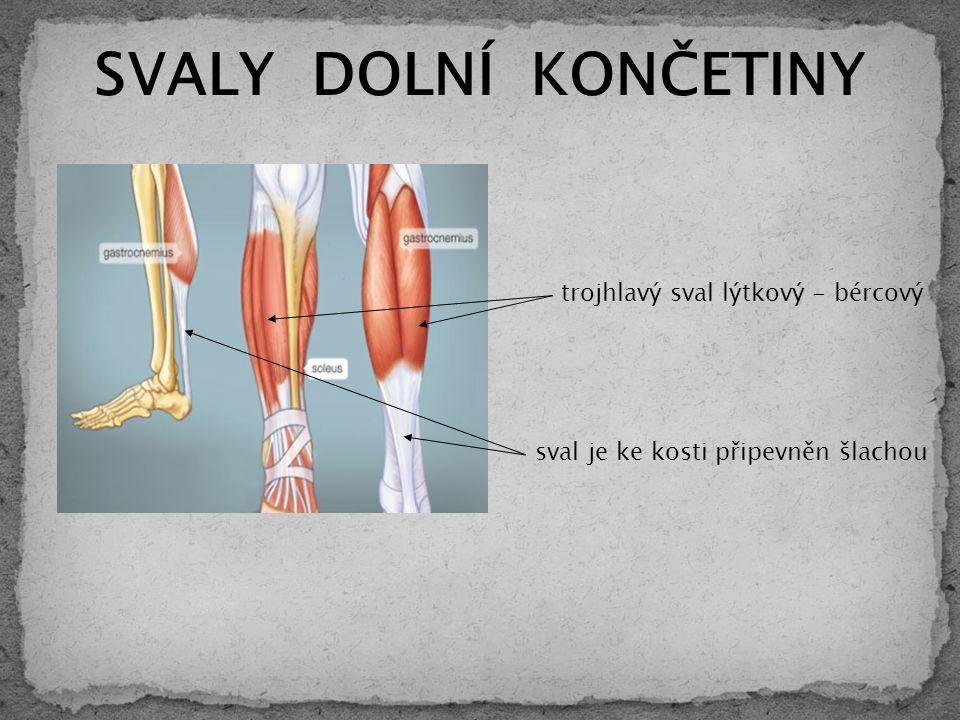 SVALY DOLNÍ KONČETINY sval je ke kosti připevněn šlachou trojhlavý sval lýtkový - bércový