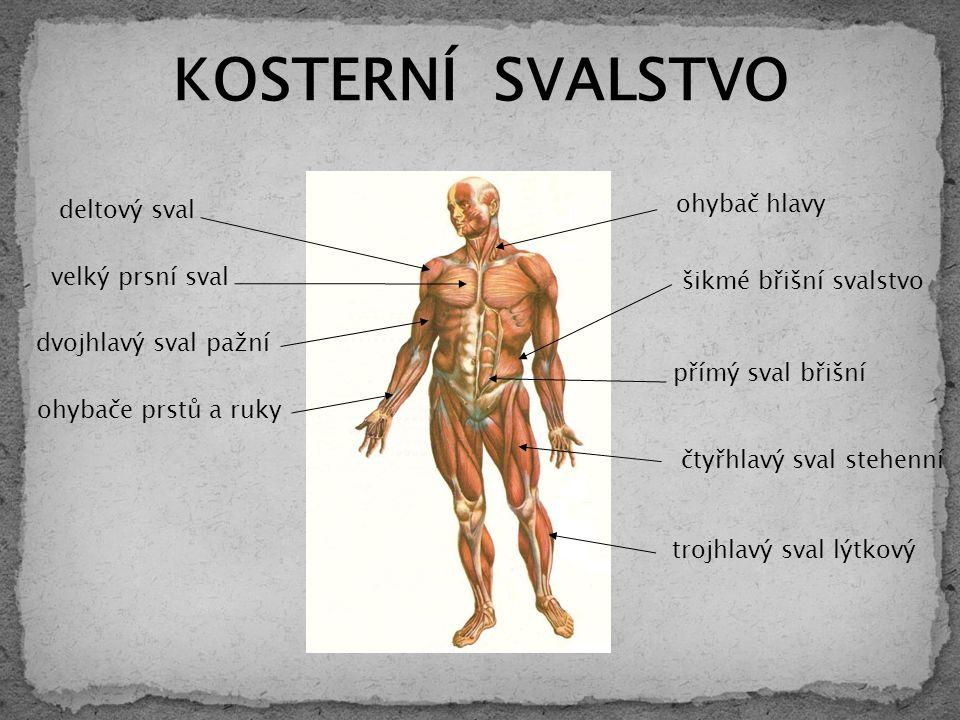 velký prsní sval deltový sval ohybač hlavy šikmé břišní svalstvo čtyřhlavý sval stehenní KOSTERNÍ SVALSTVO dvojhlavý sval pažní ohybače prstů a ruky přímý sval břišní trojhlavý sval lýtkový