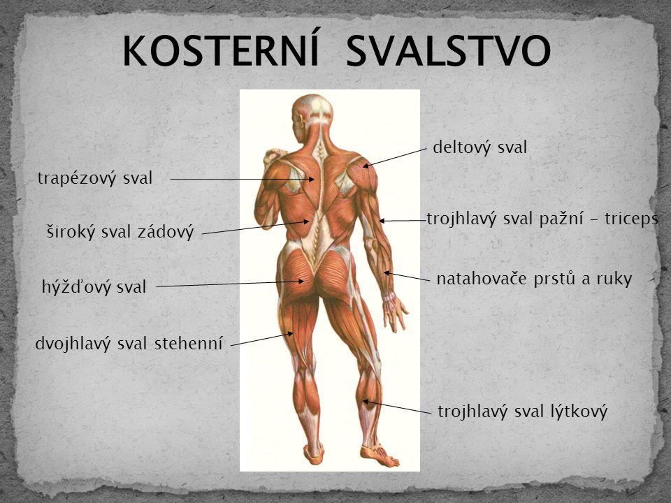 trapézový sval hýžďový sval deltový sval trojhlavý sval pažní - triceps KOSTERNÍ SVALSTVO natahovače prstů a ruky široký sval zádový dvojhlavý sval stehenní trojhlavý sval lýtkový