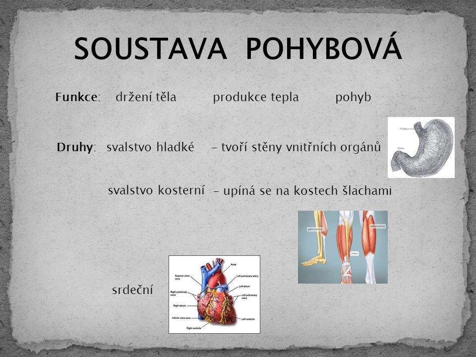 svalstvo hladké svalstvo kosterní - tvoří stěny vnitřních orgánů - upíná se na kostech šlachami Funkce: pohyb držení těla produkce tepla Druhy: srdeční