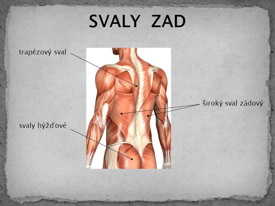 SVALY ZAD trapézový sval svaly hýžďové široký sval zádový