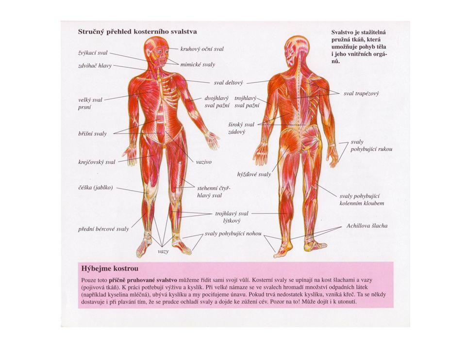 Svalové vlákno Základní stavební jednotkou příčně pruhované svaloviny je svalové vlákno.
