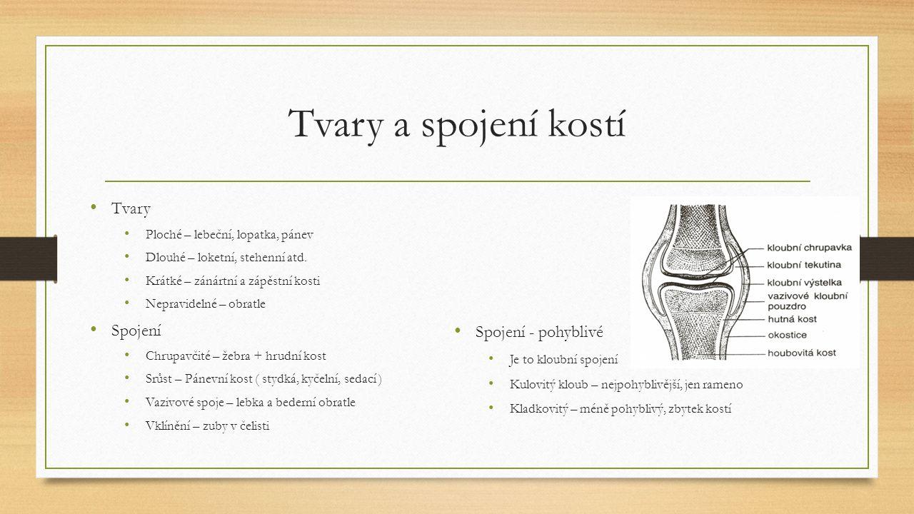 Tvary a spojení kostí Tvary Ploché – lebeční, lopatka, pánev Dlouhé – loketní, stehenní atd.